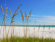 Sea Oats at Beach Royalty Free Stock Photo