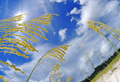 Sea Oats on Beach Stock Photo