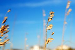 Sea Oats Royalty Free Stock Photos
