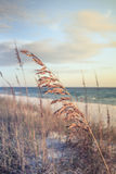Sea Oats. Blowing in the breeze near Destin, Florida royalty free stock images