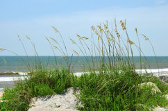 Sea Oats Blowing In the Wind Royalty Free Stock Images