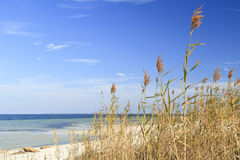 Sea Oats and Blue Sky. Sea Oats waving in the breeze on the sound side of Santa Rosa Island, part of the Gulf Island National Seashore stock photos