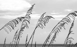 Sea Oats in the Breezse Stock Images