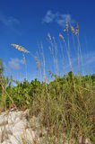 Sea Oats on Carribean Sand Dune Stock Image