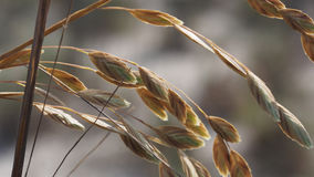 Sea Oats Closeup. Showing the details royalty free stock photo