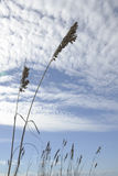 Sea Oats on a Cloudy Day Royalty Free Stock Images