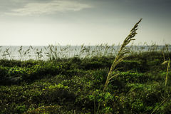 Sea Oats in Florida Royalty Free Stock Images