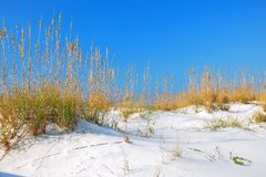 Gulf Shores White sand dunes. Sea Oats grow in the white sand dunes along the Florida Gulf coast Royalty Free Stock Images
