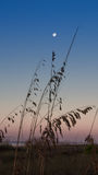 Sea oats growing under full moon Stock Images