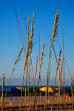 Sea oats overlooking the ocean Stock Images