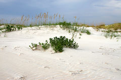 Sea oats on a sand dune. Sea oats growing on a sand dune Royalty Free Stock Photography