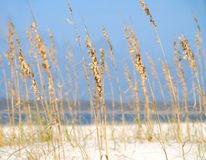 Sea Oats at Shore Stock Photography