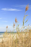 Sea Oats Tall. Vertical image of Sea Oats waving in the breeze on the sound side of Santa Rosa Island, part of the Gulf Island National Seashore royalty free stock photos