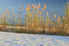 Sea Oats at Water's Edge Stock Photo
