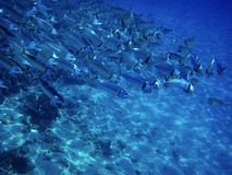 Free Sea Ocean Deep Underwater Fish School Group Life Coral Reef Water Background Shoal Under Blue Color Scuba Diver Nature Marine Stock Image - 8195481