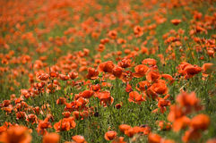Sea Of Poppies Royalty Free Stock Photo