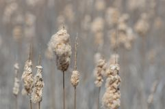 Free Sea Of Tall Grass Cattails In Fall - Nature Background - Closeup Detail Of Foreground Cattails Stock Image - 149902821