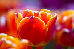 Sea of orange tulips Royalty Free Stock Image