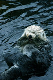 Sea otter. Cleaning himself stock image