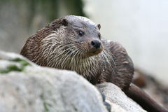 Sea otter Royalty Free Stock Photography