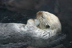 Sea Otter. Swimming on its back and eating some ice, Antwerp Zoo stock photo