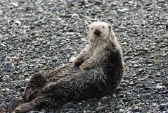 Sea Otter. A sea otter on land in Homer, Alaska Stock Photos