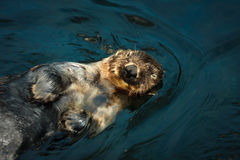 Sea otter. In water,endangered species,shallow focus Royalty Free Stock Photography