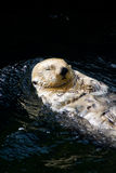 Sea otter. Swiming on its back Royalty Free Stock Photos