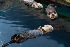 Sea Otter. Relaxing and swimming on its back stock photos