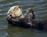 Sea otter. Floating on a warm sunny day Royalty Free Stock Images