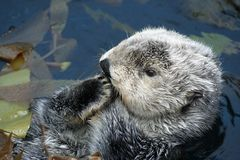 Sea otter. In Lisbon Oceanarium royalty free stock photos