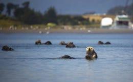 Free Sea Otter Stock Image - 72520051