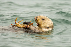 Sea Otter. Adult Sea Otter Floating On Its Back While Eating a Crab stock photos