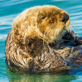 Sea Otter. Close Portrait of Northern Sea Otter Floating In Water Stock Photos