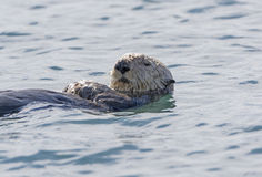Sea Otter Close-up Royalty Free Stock Photos