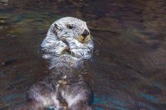 Sea Otter Royalty Free Stock Image