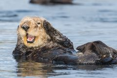 Sea otter covering ears in Morro Bay California. Funny sea otter in Morro Bay along California`s Central Coast looks like saying `I can`t hear you.` Sea otters royalty free stock images