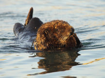Sea Otter Covering Mouth. A Sea Otter covering it's mouth while floating in the Pacific Ocean Stock Photo