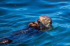 Sea otter with a crab Stock Photos