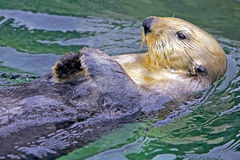Sea Otter. Cute Seaotter swimming on its back, close up Royalty Free Stock Photos