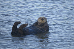 Sea otter, enhydra lutris Stock Photography