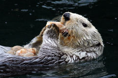 Sea Otter (Enhydra lutris). A sea otter (Enhydra lutris) snacks on a favorite food, clams.  Sea otters were nearly hunted to extinction for their soft fur, the Royalty Free Stock Images