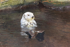 Sea Otter (Enhydra Lutris) Royalty Free Stock Photo
