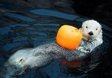 Sea Otter Or Enhydra Lutris Royalty Free Stock Photos