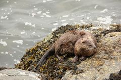 Sea Otter Royalty Free Stock Image