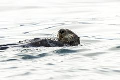 Sea Otter Enhydra lutris swimming in the water. Russia, Kamchatka, nearby Cape Kekurny, Russian bay royalty free stock images