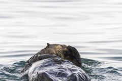 Sea Otter Enhydra lutris swimming in the water. Russia, Kamchatka, nearby Cape Kekurny, Russian bay stock photography