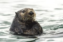 Sea Otter Enhydra lutris swimming in the water. Russia, Kamchatka, nearby Cape Kekurny, Russian bay royalty free stock image