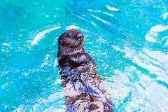 Sea Otter Royalty Free Stock Photo
