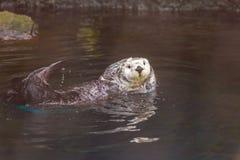 Sea Otter Stock Image